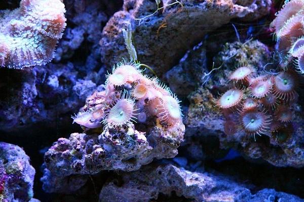Как выглядит коралловый полип