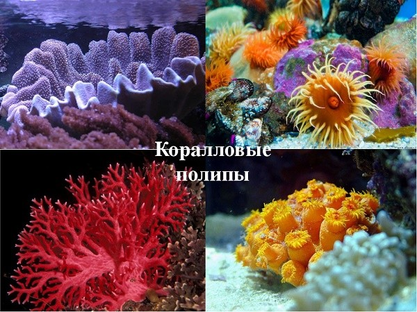 Размеры коралловых полипов